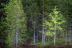 Pin Forest Trees en région sauvage et montagnes Photo libre de droits
