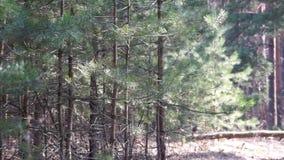 Pin Forest Trees sur le vent banque de vidéos
