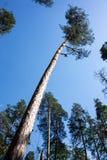 Pin grand dans la forêt sous le ciel bleu, vue inférieure grande-angulaire images libres de droits