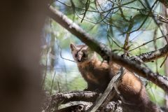 Pin indigène Marten In Algonquin Provincial Park Photos stock
