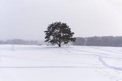 Pin isolé sous chutes de neige légères photo libre de droits