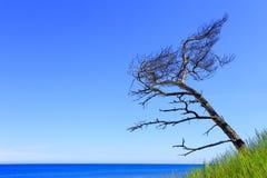 Pin isolé sur les dunes de sable et la plage du bord de mer baltique lin Images stock