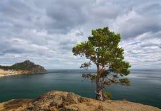 Pin isolé sur une falaise au-dessus du lac Baïkal Images libres de droits