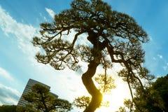 Pin japonais dans des jardins de Hamarikyu, Tokyo, Japon photos stock