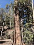 Pin le long des traînées des montagnes Forest National Park, Nevada de ressort photo libre de droits