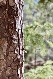 Pin le long des traînées des montagnes Forest National Park, Nevada de ressort image stock