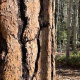 Pin le long des traînées des montagnes Forest National Park, Nevada de ressort images stock