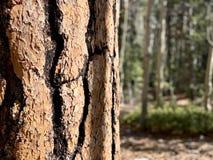 Pin le long des traînées des montagnes Forest National Park, Nevada de ressort photos libres de droits