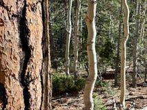 Pin le long des traînées des montagnes Forest National Park, Nevada de ressort photo stock