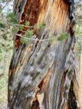 Pin le long des traînées des montagnes Forest National Park, Nevada de ressort photos stock