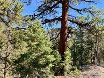 Pin le long des traînées des montagnes Forest National Park, Nevada de ressort image libre de droits
