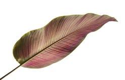 A Pin-listra Calathea do ornata de Calathea sae, folha tropical isolada no fundo branco, com o trajeto de grampeamento imagens de stock royalty free