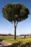 Pin maritime d'arbre, pin de groupe Le pinus Pinaster a isolé images stock