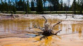 Pin mort dans les marécages avec géothermique en parc de yellowstone Photo stock