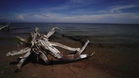 Pin mort sur le cap Kolka, mer baltique, Lettonie de plage banque de vidéos