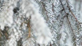 Pin neigeux d'hiver Scène de Noël Branche de sapin couverte du pays des merveilles de gel Neige sur le branchement Humeur d'hiver clips vidéos