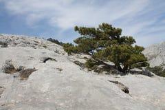 Pin noir dalmatien (sous-espèce de Pinus nigra dalmatica) Photo stock