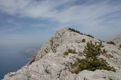 Pin noir dalmatien (sous-espèce de Pinus nigra dalmatica) Photographie stock libre de droits