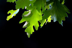 Pin Oak-Baumblätter Stockfotos