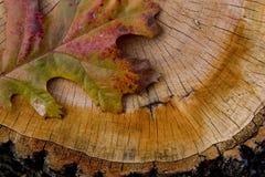 Pin Oak Leaf on Tree Stump Stock Photography