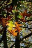 Pin Oak Leaves Stockfotos
