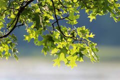 Pin Oak Leaves Royalty Free Stock Photography