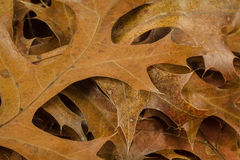 Pin oak leaves in fall Stock Photos