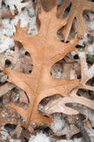 Pin-Oak Leaves First Snow Royalty Free Stock Photography