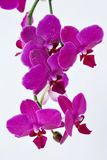 Pin orchids isolated on white studio background Stock Photography