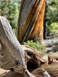 Pin pétrifié le long des traînées des montagnes Forest National Park, Nevada de ressort photographie stock libre de droits
