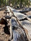 Pin pétrifié le long des traînées des montagnes Forest National Park, Nevada de ressort photographie stock