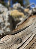 Pin pétrifié le long des traînées des montagnes Forest National Park, Nevada de ressort photo stock