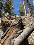 Pin pétrifié le long des traînées des montagnes Forest National Park, Nevada de ressort photos libres de droits
