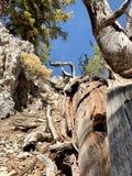 Pin pétrifié le long des traînées des montagnes Forest National Park, Nevada de ressort photos stock