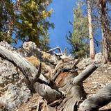 Pin pétrifié le long des traînées des montagnes Forest National Park, Nevada de ressort photo libre de droits