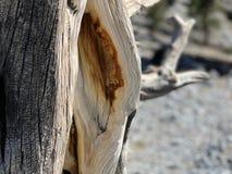Pin pétrifié le long des traînées des montagnes Forest National Park, Nevada de ressort images stock