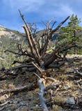 Pin pétrifié le long des traînées des montagnes Forest National Park, Nevada de ressort image stock