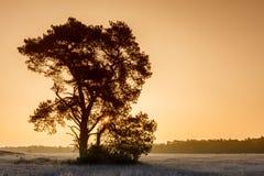 Pin puissant au lever de soleil d'hiver photos libres de droits