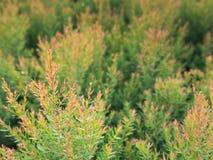 Pin rouge dans le jardin Photographie stock