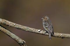 Pin Siskin (pinus de pinus de Carduelis) photographie stock libre de droits