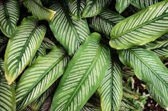 Green and white striped Calathea ornata with young purple colored leaves royalty free stock photos