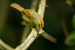 Pin-Striped Tit Babble Royalty Free Stock Images