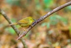 Pin-striped Tit-Babbler ( Macronousgularis) on branch at khaoyai Stock Photos