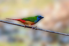 Pin-tailed Parrotfinch bird Royalty Free Stock Photos
