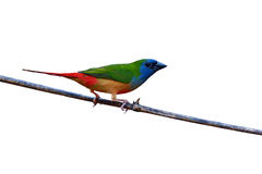 Pin-tailed Parrotfinch bird Royalty Free Stock Images