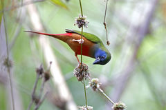 Pin-tailed Parrotfinch Erythrura prasina Male Cute Birds of Thailand Stock Images