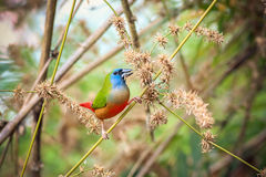 Pin-tailed Parrotfinch Stock Image