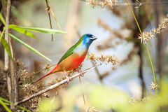 Pin-tailed Parrotfinch Stock Images