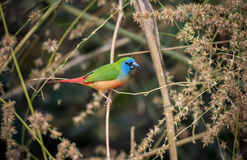 Pin-tailed Parrotfinch Royalty Free Stock Photo