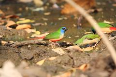 Pin-tailed Parrotfinch royalty-vrije stock afbeelding